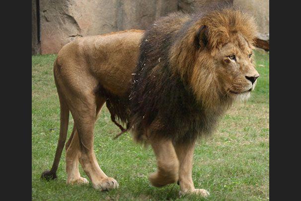 hoe groot is een leeuwen lul bideos pornos gratis